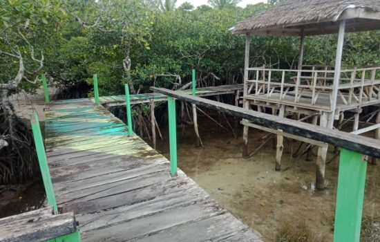 Mati Suri, Wisata Hutan Mangrove di Tuada, Halmahera Barat, Bakal Dibangun Kembali